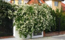 Pnącza: rośliny wieloletnie, które otulą twój ogród. Poznaj zalety pnączy
